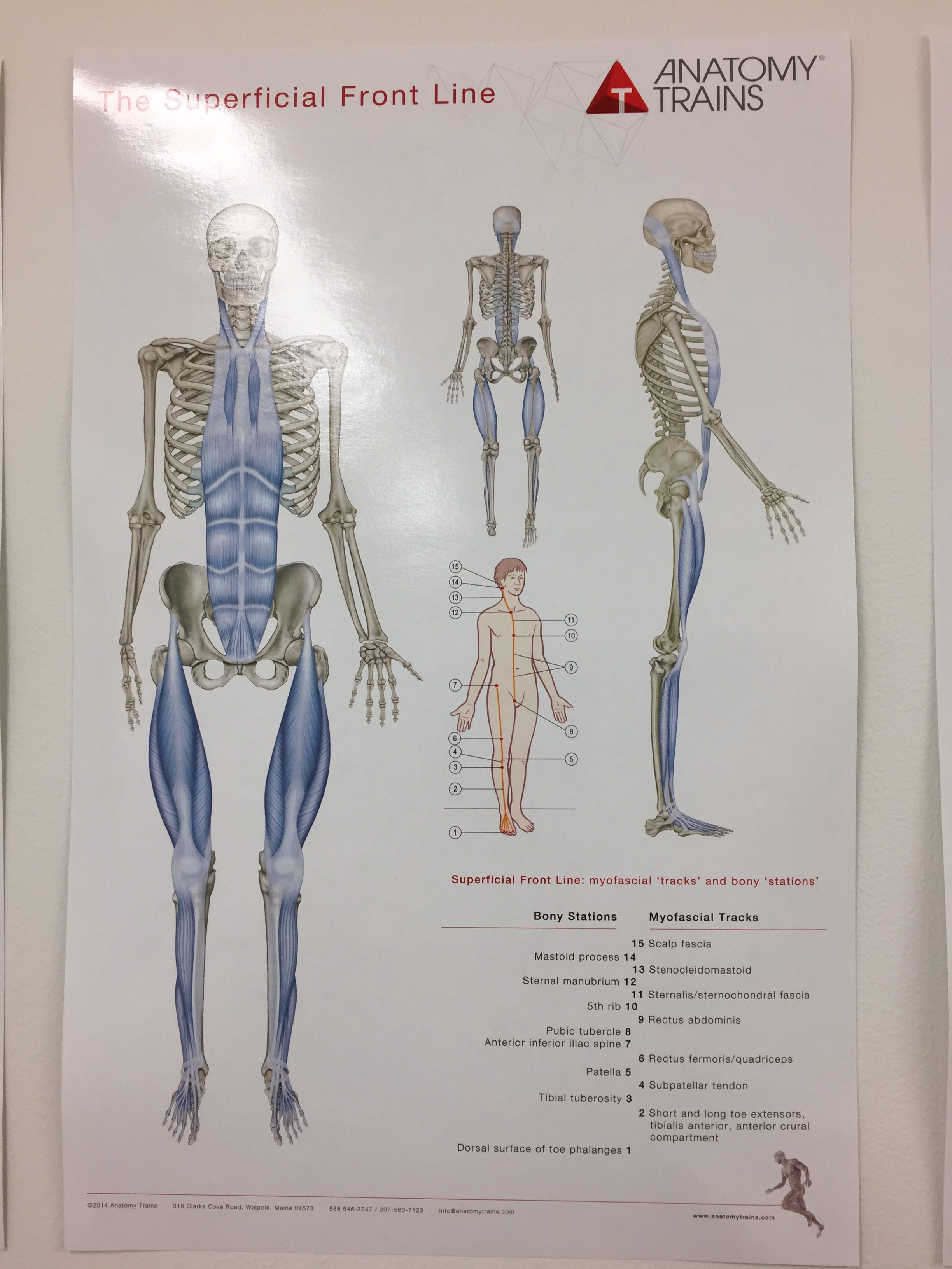 Magnificent Thomas Myers Anatomy Trains Mold - Anatomy Ideas ...